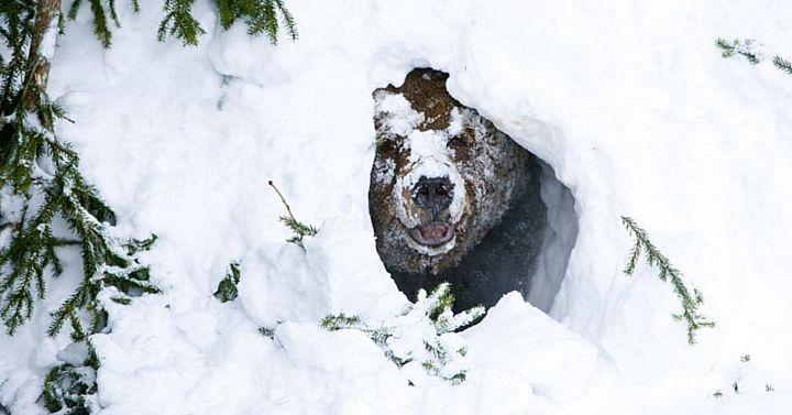 pochemu-medved-spit-zimoi